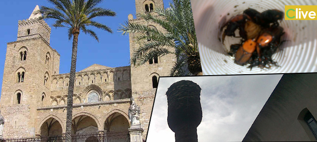 Duomo di Cefalù, cade una palma infetta: si riversano punteruoli per tutta la piazza