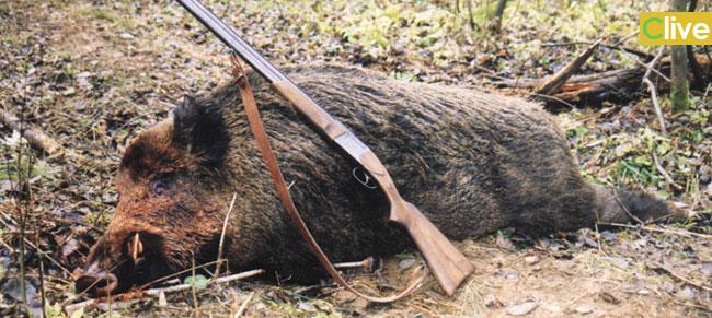 Cinghiali, fermata dal prefetto la battuta di caccia programmata a San Mauro