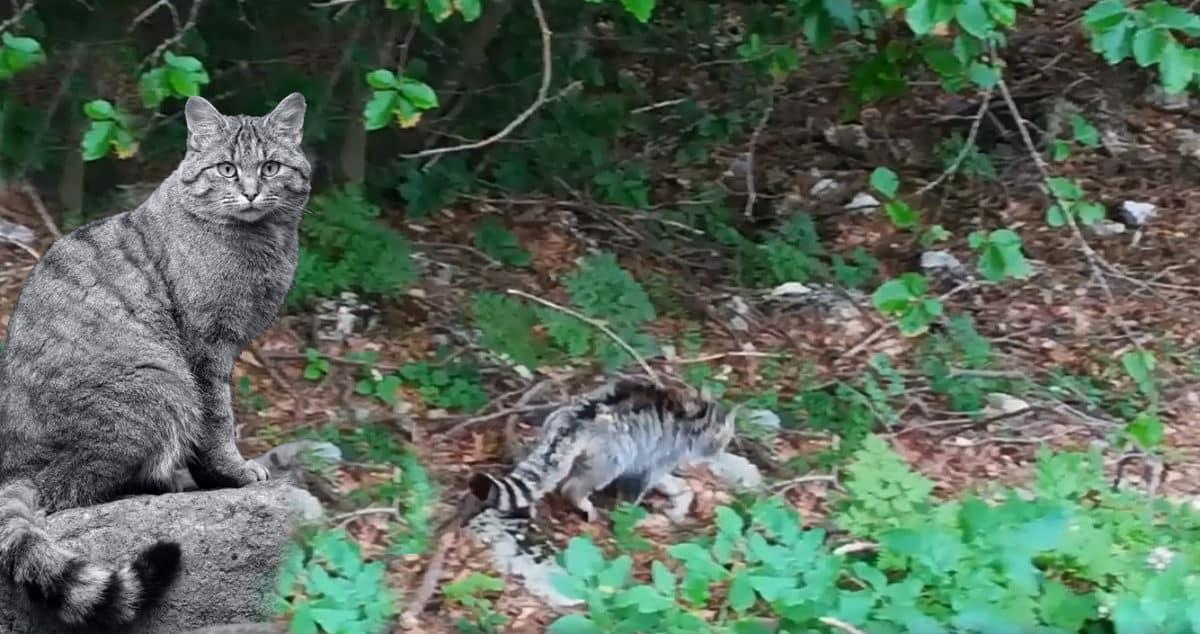 Un Documento Video Certifica La Presenza Del Rarissimo Gatto